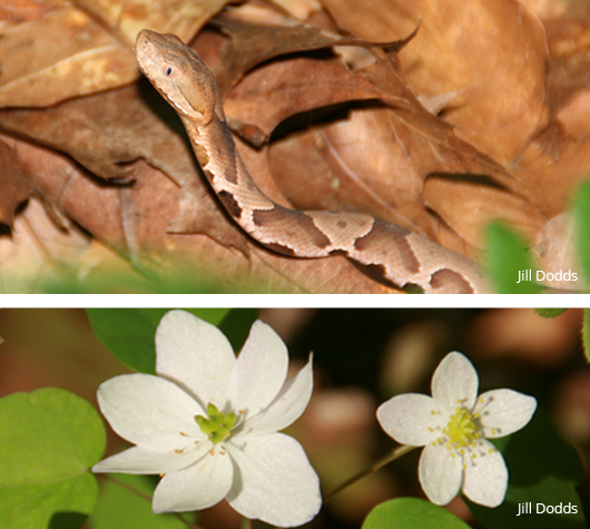 Kugler Woods, copperhead and rue anemone