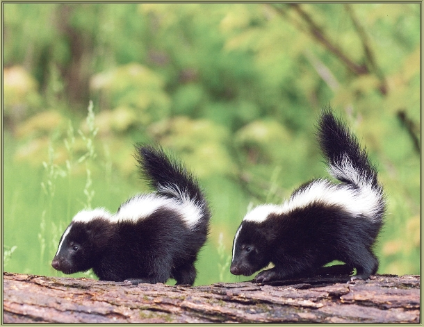 Critter Corner: Skunks – The Little Stinkers!